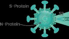 De twee belangrijkste eiwitten van het corona virus: S-protein en N-protein